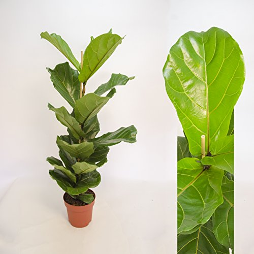 Inter Flowers-Ficus lyrata ,Geigenfeige ,Geigenficus , 60-70cm +/- Topfgröße 17 cm