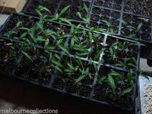 Potted graines de plantes Bonsai 100 graines graines de bambou jardin frais Plante bambou vert Phyllostachys aureosulcata Spectabilis d85