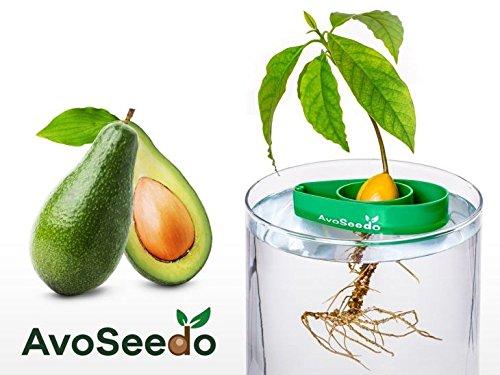 AvoSeedo Crecer Aguacate en Casa - Uso Interior / Exterior o Para la Decoracion. Regalos Originales Para Hombre / Mujer (Verde)