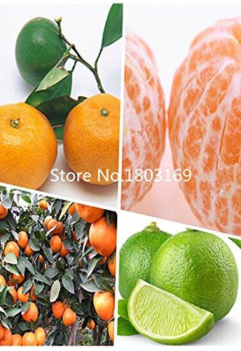 10pcs comestibles Fruit Mandarin intérieur Graines Bonsai Arbre Citrus Bonsai mandarine Graines
