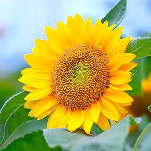 luo-401xx 20pz semi di fiori di girasole, bella pianta ornamentale da balcone bonsai facile da coltivare per la decorazione del cortile del giardino di casa semi di girasole
