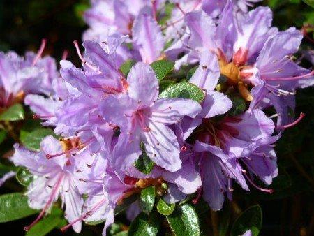 Zwerg Rhododendron impeditum Moerheimii 15 cm breit im 2 Liter Pflanzcontainer