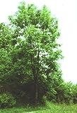 Esche ** Fraxinus excelsior ** (100 Stück Esche 2j. 1+1 30-50 cm, 81104 Westdt.Bergland)