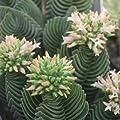 Crassula hybrid Buddhas Temple 5-8 cm - 2 pflanzen! von CactusPlaza.com bei Du und dein Garten