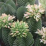 Crassula hybrid Buddhas Temple 5-8 cm - 2 piante!