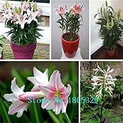 Vista Lilie Samen Hemerocallis Primal Scream Samen Hemerocallis Fulva Taglilie Orange Blumensamen Bodendeckerpflanzen