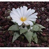 Ariocarpus retusus - 100 semi