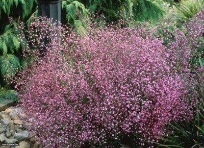 Thalictrum aquilegifolium - Akeleiblättrige Wiesenraute 20 Samen