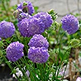 Shop Meeko Kings Seeds - Scabiosa - Atropurpurea Oxford Blue - 100 Samen