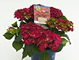 Bauernhortensie `Magical ® Four Seasons´, rosa-rot