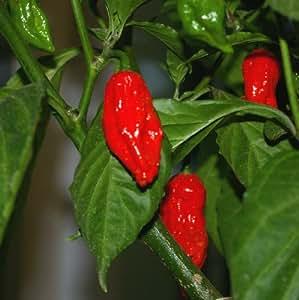 Bhut Jolokia (Naga Jolokia) rot - das schärfste Chili der Welt - 5 Samen /1.001.304 Scoville-Einheiten