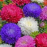 Soteer 50 Stück Wiesen-Gänseblümchen Chrysanthemen Gefüllte Mischung Blumensamen Blühender Rasen Saatgut Einjährig