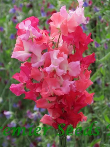 premier-seeds-direct-swp39f-sweet-pea-spencer-pink-shades-finest-seeds-pack-of-30