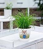 BALDUR-Garten Katzengras, 1 Pflanze Cyperus alternifolius zur Verdauungsunterstützung von Katzen