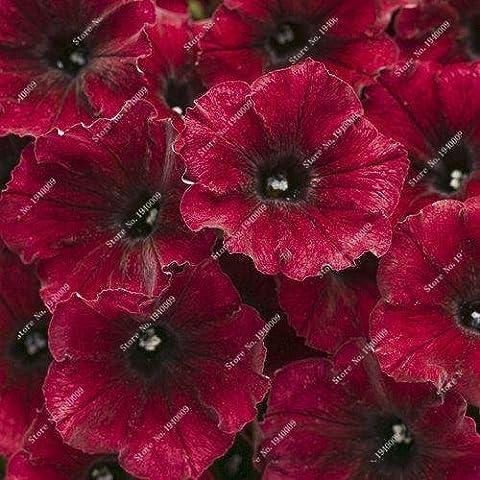 2016 neue Berserker Special Promotion Balkon Pot seltene rote Weiße Petunie Blumensamen Blütenpflanzen 50 Partikel / lot