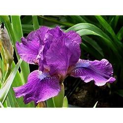 Staudenkulturen Wauschkuhn Iris barbata media 'Indiana' - Bartiris - Staude im 11cm Topf