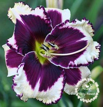 100pcs-bag-piante-hosta-hosta-whirl-wind-fiore-hosta-semi-di-fiori-bonsai-semi-di-erba-piante-orname