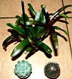 3 getopfte Sukkulenten + 3 Kakteen + 3 Bromelien, Grünpflanzenmix, Topfpflanzen