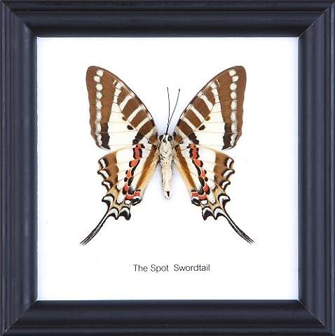 Le Spot mural Swordtail coton Papillon de taxidermie Cadre 12 x 12 cm