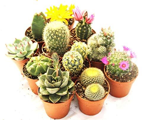 11 Mini-Sukkulenten 5,5cm Topf - Kakteen- echte Pflanzen - Mit Dornen- Produktion Viggiano Cactus