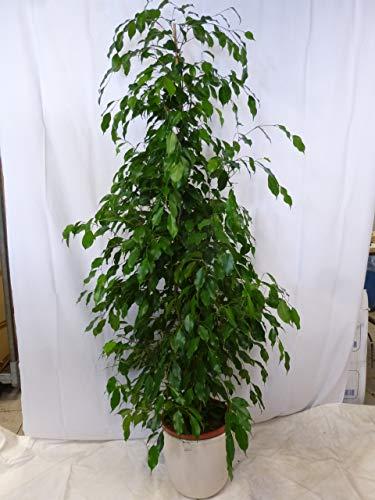 "[Palmenlager] Ficus benjamini\""Exotica\"" 180/200 cm - Zimmerpflanze"