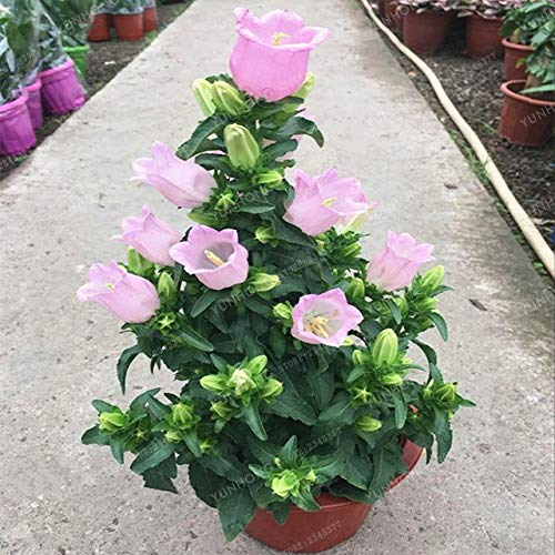 Pinkdose 100 PC-Blume Abutilon Pictum Bonsai Garden Bonsai Blumen Bonsai Easy Grow chinesische Bell-Blumen-Bonsai Campanula: 4