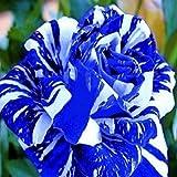 Gartenblumen Samen Pot Bonsai Rose Samen Professionelle Sämling floer Werk / Vary Farben Auswahl 50 Samen / pack
