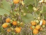 Gelbe Himbeere, Rubus Ellipticus, leckerer Exot, 10 Samen,von unserer ungarischen Farm samenfest, nur natürliche Dünger, KEINE Pesztizide