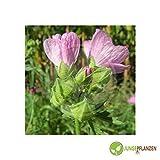 Semi di erbe - Malva / Malva - Malvaceae - diversi tipi(Malva / blu - Malva sylvestris)