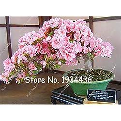 Shopmeeko 100 Teile/beutel Bonsai Mountain Azalea - Rhododendron Simsii Satsuki Mischfarbe Blume DIY Haus & amp; Gartenpflanzen: 1