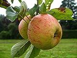 Apfel Busch-Baum Finkenwerder Herbstprinz süß-leicht säuerlich 130-150 cm gelbes Obst