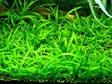 Aqua'lumenes Plantas acuáticas Oxigenantes para Acuario Agua Dulce.Sagitaria subulata tapizante