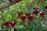 Kigelia africana - La saucisse de l arbre - 10 graines