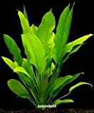 WFW wasserflora 2 Bunde Große Amazonas-Schwertpflanze/Echinodorus bleheri, Aquariumpflanze, barschfest