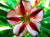 Wüstenrose (Adenium obesum) 5 Samen Bondyred