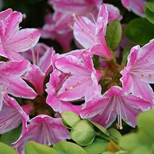 Rhododendron 'Dusty Miller' 30-40 cm en conteneur