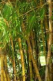 Riesenbambus Bambusa arundinacea essbare Sprossen 100 Samen