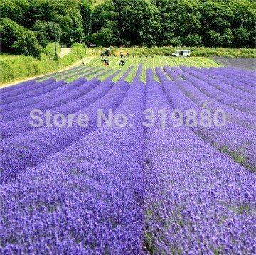 500pcs lavanda semillas de la hierba del jardín semillas de marihuana balcón semillas de flores Cuatro Estaciones