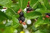 #9: Rare Black Mulberry Morus indica Fruit Plant (1 Healthy Live Plant)