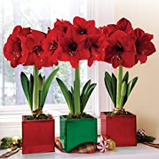 plantsguru Amaryllis Lily Red 5 Bulbs