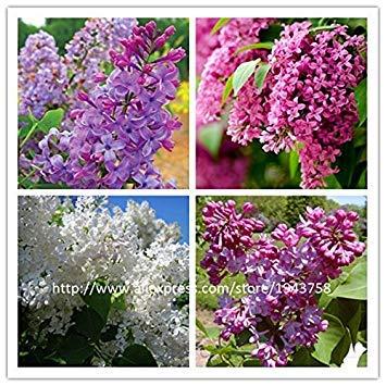 Pinkdose® 100 pezzi di seme lilla, semi di chiodo di garofano bianco e semi di fiori lilla, pianta estremamente profumata per piante da giardino di casa