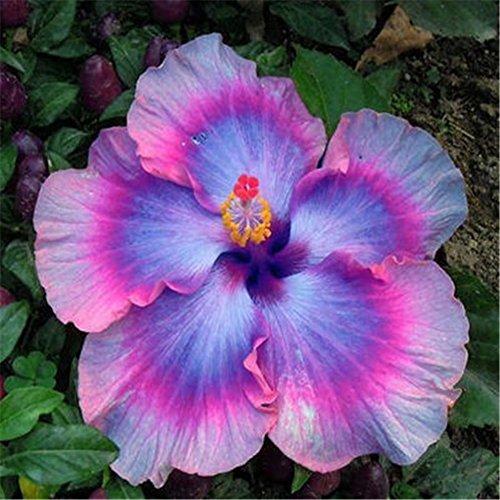 Hibiscus Graines Mix Couleur Arbre Bonsaï En Pot Plantes Facile à Cultiver Jardin Paysage Fleur Beau décor de la maison
