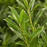 Generic Kirschlorbeer 'Caucasica', 60/80 cm, 2 Pflanzen im Set, je im 7 l Topf