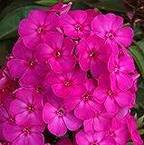 lichtnelke - Flammenblume (Phlox paniculata ) Border Gem