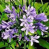 100 STÜCKE Bonsai Agapanthus Africanus Samen Blumensamen Pflanze Hausgarten Zierpflanzen Samen Einfach Zu Wachsen DIY Ornamente