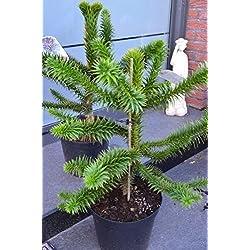 Chilenische Schmucktanne Araucaria araucana 30 - 40 cm hoch im 7,5 Liter Pflanzcontainer