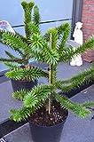 Chilenische Schmucktanne Araucaria araucana 40 - 50 cm hoch im 10 Liter Pflanzcontainer