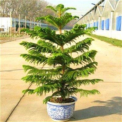 50-partculas-de-una-bolsa-de-semillas-de-araucaria-los-mini-bonsai-rbol-spruce-semillas-semillas-rar