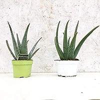 Pianta Aloe Vera Vaso 14cm