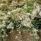 Knöterich - Polygonum aubertii - Schnellwachsende Kletterpflanze von Native Plants